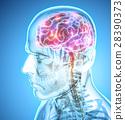 Human Internal Organic - Brain. 28390373