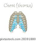 胸部 骨头 解剖学 28391880