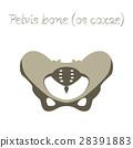 skeleton, bone, pelvic 28391883