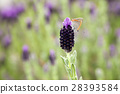 花朵 熏衣草 植物人 28393584