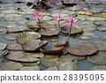 ดอกไม้ดอกบัว, สระน้ำ (Flower of Water Lily) 28395095