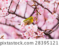 winter, cherry, blossoms 28395121