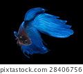 fish, betta, animal 28406756