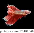 fish, betta, fighting 28406846