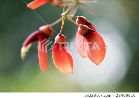 Nagai植物園熱帶植物,美國Deigo 28409916