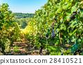 Champagne Vineyards at sunset, Montagne de Reims 28410521