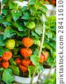 꽈리, 식물, 열매 28411610