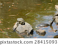 Three turtles on the stone in the pond 28415093