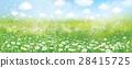 chamomile, flower, daisy 28415725