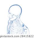 骨头 骨骼 骨架 28415822