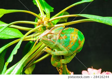 One Yemen chameleon 28416244