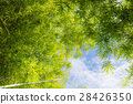 bamboo forest with blue sky 28426350