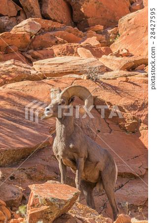 Desert Bighorn Sheep Ram 28427595