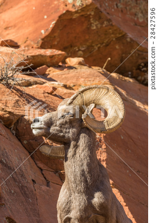 Desert Bighorn Sheep Ram 28427596
