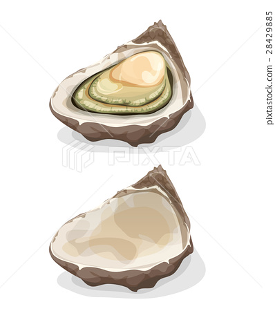 Oyster Shell 28429885