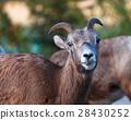 Goat in Banff, Alberta 28430252