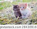 Red and gray kittens 28430816
