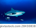 bull shark in the blue ocean background 28430838