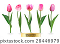 Realistic vector tulips set. Not trace. The blank 28446979
