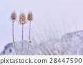 Echinops thistles plant 28447590
