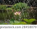 lotus, bloom, blossom 28458070