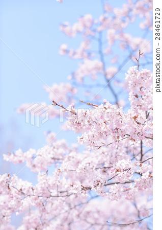 ท้องฟ้าสีฟ้าและดอกซากุระ (ปุ่มสูง) 28461729