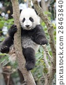 熊貓 嬰兒 寶寶 28463840