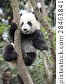 熊猫 婴儿 宝宝 28463841