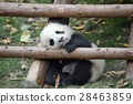 熊猫 婴儿 宝宝 28463859