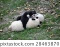 panda, pandas, baby 28463870
