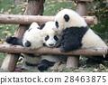 panda, pandas, baby 28463875