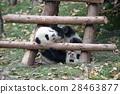 panda, pandas, baby 28463877