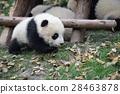 panda, pandas, baby 28463878