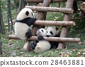 panda, pandas, baby 28463881