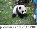 panda, pandas, baby 28463901