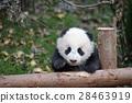 小熊猫 28463919