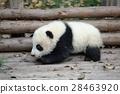 panda, pandas, baby 28463920