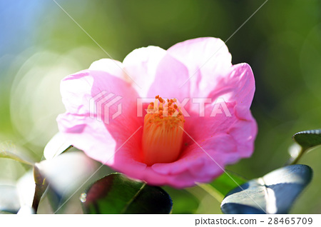 Camellia flower 01 28465709