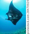 黃貂魚 蝠鱝 光線 28470924