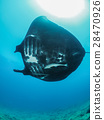 黃貂魚 蝠鱝 光線 28470926