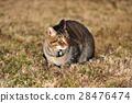 キジトラ猫 28476474
