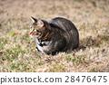 キジトラ猫 28476475