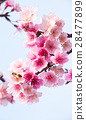 Spring cherry blossoms, pink flowers 28477899