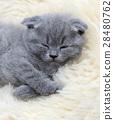 Kitten on white blanket 28480762
