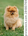 Brown pomeranian dog 28480769