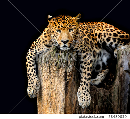 Leopard Isolated on black background 28480830