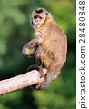 Capuchin monkey 28480848
