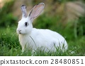 Rabbit 28480851