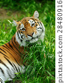 Tiger 28480916