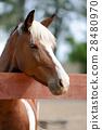Arabian bay horse 28480970